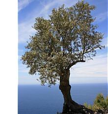 der olivenbaum gedeiht und w chst langsam die. Black Bedroom Furniture Sets. Home Design Ideas